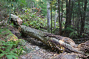 Uprooted yellow birch across the Mt Tecumseh Trail in Waterville Valley, New Hampshire that was cut with an axe in September 2011. Axe cuts can be seen on the upper left and lower right of the downed tree.