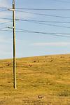 Eastern Grey Kangaroo (Macropus giganteus) mob near powerlines, Mount Taylor Nature Reserve, Canberra, Australian Capital Territory, Australia