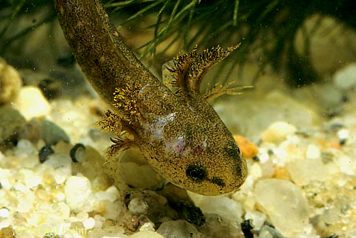 SL04-027x   Salamander - spotted salamander larva with gills, in pond - Ambystoma maculatum