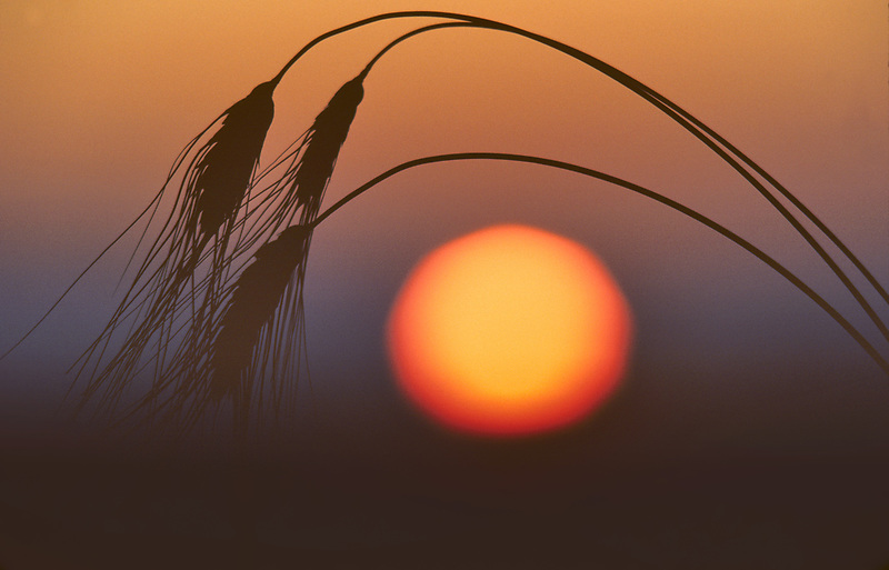Black bearded wheat with sunrise. Near Monroe, Oregon.