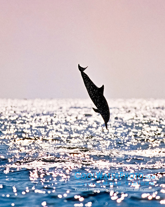 silhouette of Hawaiian spinner dolphin, Stenella longirostris longirostris, leaping, Kona Coast, Big Island, Hawaii, USA, Pacific Ocean