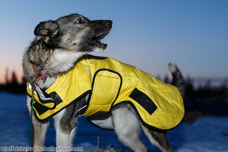 A Matts Pettersson dog howls at the Cripple checkpoint, Friday March 7, during the Iditarod Sled Dog Race 2014.<br /> <br /> PHOTO (c) BY JEFF SCHULTZ/IditarodPhotos.com -- REPRODUCTION PROHIBITED WITHOUT PERMISSION