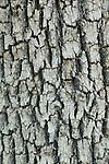Bark of Mexican blue oak (Quercus oblongifolia), Coronado National Forest, Arizona
