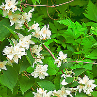 Mock Orange blossoms, Washington