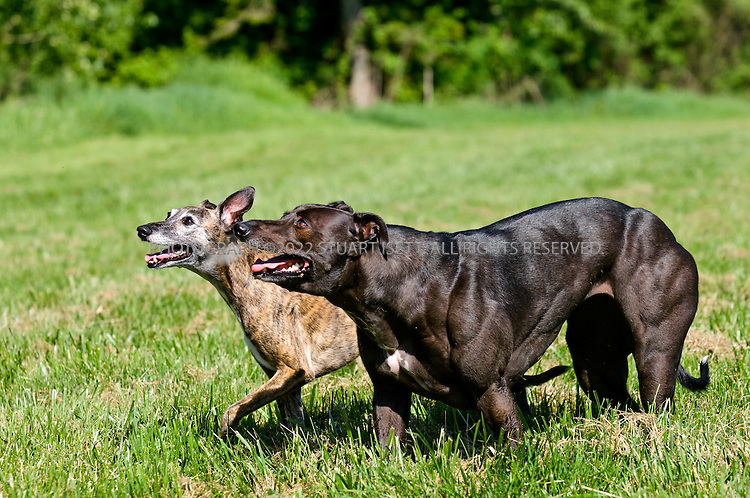 Greyhound Dog Bully Breed Mix