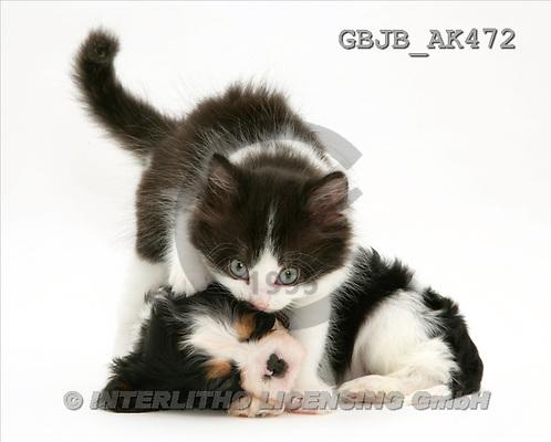Kim, ANIMALS, fondless, photos, kitten, pup(GBJBAK472,#A#) Tiere ohne Fond, animales sind fondo