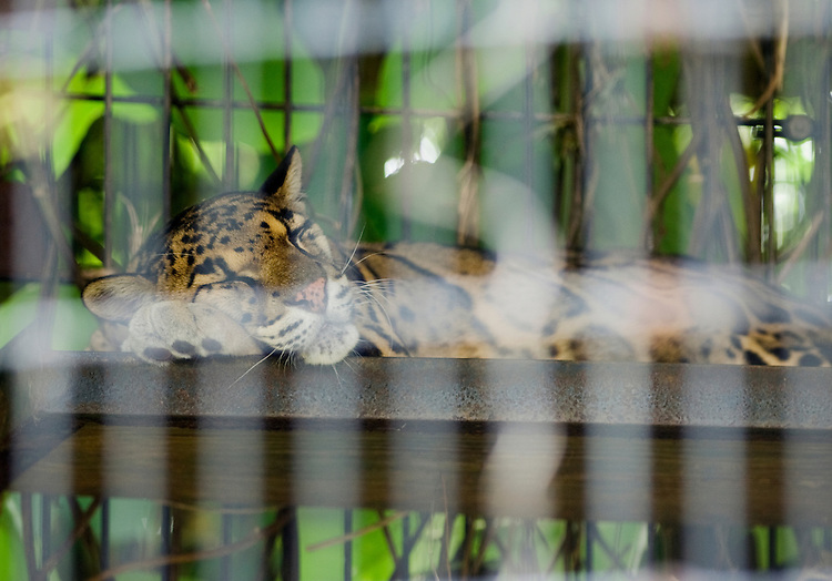 The Conservation and Research Center of the Smithsonian's National Zoological Park in Front Royal, Virginia. It is one of the world's most extensive programs of conservation biology research. A Clouded Leopard sleeps in his outdoor cage.
