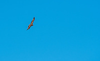 A juvenile Red-tailed Hawk, Buteo jamaicensis, flies over Sacramento National Wildlife Refuge, California