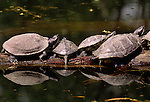 Red-eared sliders sunbathing on a log, native to the southern USA