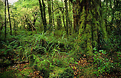 Forest interior, Fiordland National Park, South Island, New Zealand.