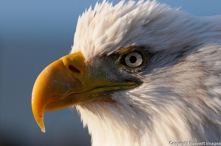 The rising sun illuminates a bald eagle at the Homer Spit in Alaska.