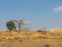 Two trees in dry sloped land.