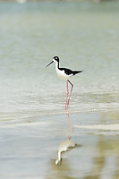 Hawaiian stilt (ae`o in Hawaiian; Himantopus mexicanus knudseni), photographed in Kailua, on the island of Oahu.  This is an endangered endemic Hawaiian bird.