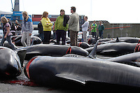 Whaling. Long-finned Pilot whales ( Globicephala melas ) Public walking between Carcasses from Grindadrap on harbour in Torshavn, Faroe Islands, North Atlantic