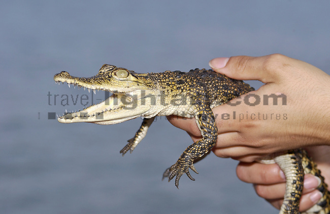 ALUTGAMA, BENTOTA, WESTERN AND SOUTHERN  PROVINCE, SRI LANKA...BOAT-SAFARI ON BENTOTA (GANGA) RIVER, NATURE, WILDLIFE, WATER, FOREST, MANGROVES, TREES, LITTLE CROCODILE IN THE HANDS OF FUNDA, ..BABY CROCODILE, KROKODIL, (CROCODYLUS SPECIES), .CROCODYLIDAE, CROCODLES, ECHTE KROKODILE, 7/1 14..REPTILE, ANIMAL, WILDLIFE, FAUNA, NATURE, WATER, PEOPLE,..©Photo: Paul J.Trummer, Mauren / Liechtenstein www.travel-lightart.com