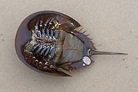 Horseshoe Crab<br /> <br /> Limulus polyphemus