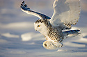 Snowy owl landing in snow