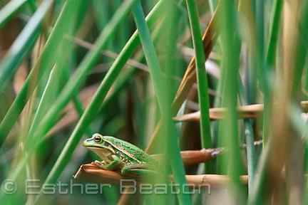 Green and Golden Bell Frog (Litoria aurea) at specially-built pond, Long Reef Golf Course, Sydney, NSW.. Threatened species