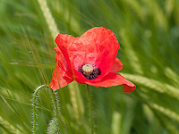 A Close up of a Common Poppy {Papaver rhoeas} Flower at Ranscombe Farm, Cuxton, Kent