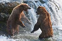 Brown bears fight to defend fishing spots on the Brooks River, Katmai National Park, southwest, Alaska.