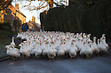 19/11/16<br /> <br /> Waddling down a frosty lane a flock of 500 geese take their daily morning walk from their barn through the village of Croxton Kerrial, near Grantham. <br /> <br /> The geese spend their day grazing in a field over-looked by the village church in Lincolnshire, before waddling back to their warm barn again at dusk. <br /> <br /> Richard Botterill who owns Botterill &amp; Son in Croxton Kerrial near Grantham, said: &ldquo;The geese have fattened up well this year because of the warm summer - they&rsquo;re about 10% heavier than normal. They&rsquo;ve gained weight because they haven&rsquo;t had to burn up their food just keeping warm.&rdquo;<br /> <br /> But you'll need to be quick if you want to have a gander at these feathery commuters, as the six-month-old birds will all take their last stroll through the village next week as demand for goose on the Christmas dinner table continues to rise year-on-year.<br /> <br /> The farm has a total of 1500 geese and also supplies turkeys, duck and chicken for Christmas.<br /> <br /> The geese have walked through the village for 25 years.<br /> <br /> All Rights Reserved F Stop Press Ltd. (0)1773 550665   www.fstoppress.com