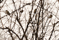 AVAILABLE FROM JEFF AS A FINE ART PRINT.<br /> <br /> AVAILABLE FROM PLAINPICTURE FOR COMMERCIAL AND EDITORIAL LICENSING.  Please go to www.plainpicture.com and search for image # p5690007.<br /> <br /> Birds Perched on Bare Tree Branches in Winter on the East River Promenade (next to the Brooklyn Bridge), New York City, New York State, USA
