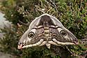 Emperor moth female {Saturnia pavonia} resting on heather, Peak District National Park, UK. April.