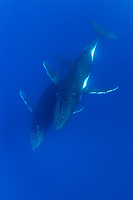A pair of young adult Humpback Whales, Megaptera novaeangliae, viewed from above. Moorea, French Polynesia, Pacific Ocean