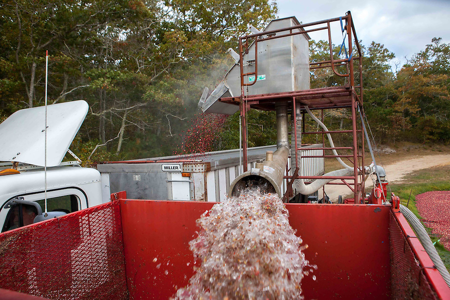"""Cranberries are cleaned and separated by the """"detrasher"""" after being pumped from the bog. They then are spat into a waiting truck for transportation to the Ocean Spray plant in Carver, MA, where they are either made into concentrate or frozen for future usage."""