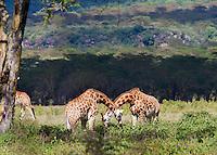Giraffe (Giraffa camelopardalis), Lake Nakuru National Park, Kenya