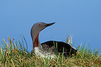 Red-throated loon on nest (Gavia stellata)