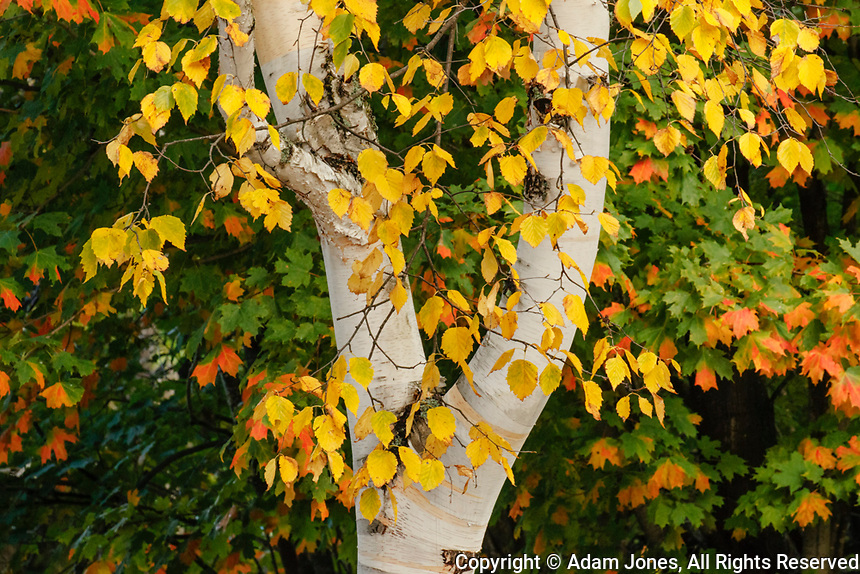 Autumn Birch leaves, Hiawatha National Forest, Upper Peninsula of Michigan.