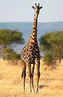 Adult giraffe in Grumeti, Tanzania
