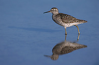 Wood Sandpiper, Tringa glareola,adult, Samos, Greek Island, Greece, Europe