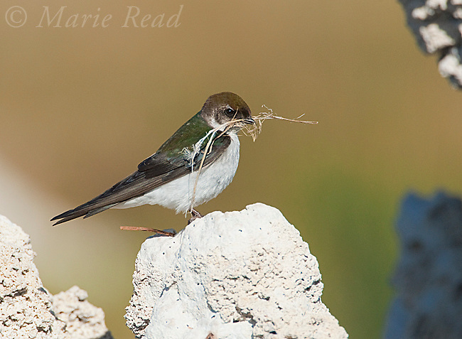 Violet-green Swallow  (Tachycineta thalassina), female holding nest material, perched on tufa tower, Mono Lake, California,USA