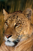 655809007v portrait of a ligress an artificially produced offspring of a male lion and a female tiger - animal is a wildlife rescue - species is not  found in the wild