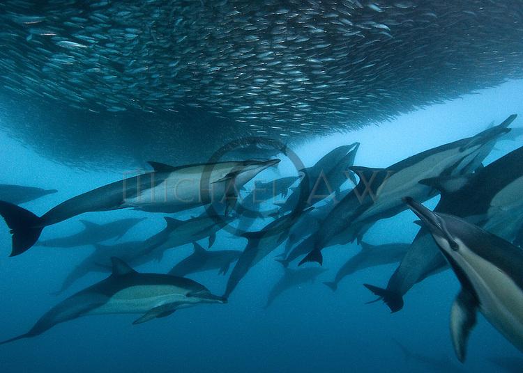 Sardine run; South Africa; Wild Coast; Bryde whale; (Balaenoptera edeni); sardine; common dolphin; gannets; Bronze whaler; dusky shark feeding on bait ball of sardines