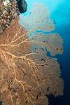 Russell Islands, Solomon Islands; a large orange sea fan growing on the reef wall with blue water in the background