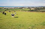 Cattle in field near village of Trefin, Pembrokeshire, Wales