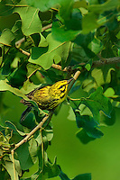592260006 a wild male prairie warbler setophaga discolor - was dendroica discolor - perches in a large tree in the angelina national forest jasper county texas