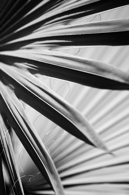 A close-up of Bismarckia palm fronds at the Los Angeles County Arboretum & Botanical Garden in Arcadia, California.