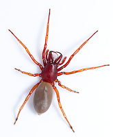 Dysdera crocata is a common and distinctive spider found in gardens, around buildings and on disturbed ground. It is a methodical nocturnal hunter with huge fangs
