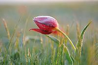 Wild tulips in the steppe bloom in April, Rostovsky Nature Reserve, Rostov Region, Russia.Tulipa schrenkii