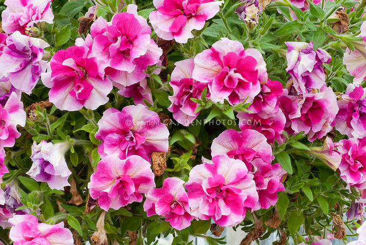Petunia Rosy Ripple - Tumbelina series - striped annual flowers in two toned pink and red magenta, hot colored blooms