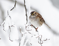 The snow was coming down heavily and the birds were actively looking for food.  This sparrow landed on the branch knocking snow from it and waited to drop down into the feeding flock.