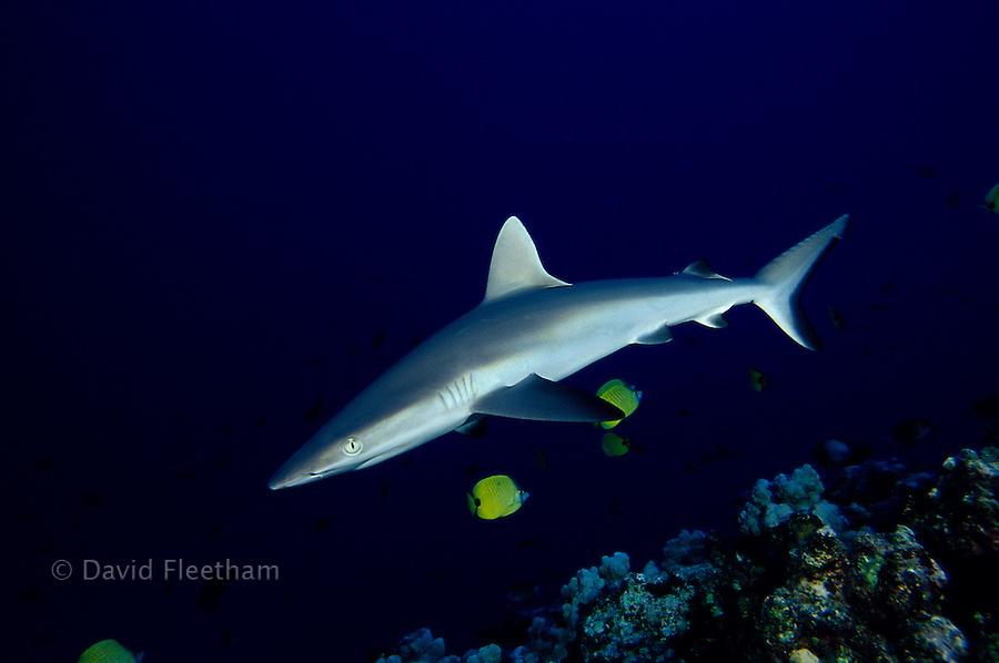 The portrait of a Hawaiian predator, the gray reef shark, Carcharhinus amblyrhynchos, Hawaii