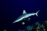 The portrait of a Hawaiian predator, the gray reef shark, Carcharhinus amblyrhynchos, Hawaii