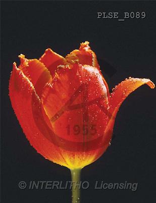 Jacek, FLOWERS, portrait, macro, photos, PLSE, PLSEB089,#F# Blumen, flores, retrato