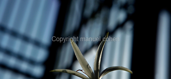 Plant History Glasshouse (formerly Australian Glasshouse), 1830s, Rohault de Fleury, Jardin des Plantes, Museum National d'Histoire Naturelle, Paris, France. Detail of Crinum asiaticum flower lit by the afternoon light, with the glass and metal structure of the Glasshouse in the background.