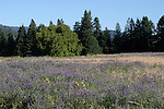 Meadow at Henry Cowell Redwoods State Park
